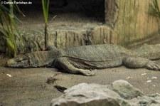 Bengalenwaran (Varanus bengalensis) im Dusit Zoo Bangkok