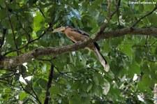 Rostbauch-Hornvogel (Anorrhinus tickelli) im Kaeng Krachan National Park, Thailand
