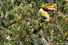 Doppelhornvogel (Buceros bicornis) im aeng Krachan National Park, Thailand
