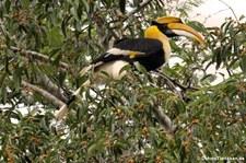 Doppelhornvogel (Buceros bicornis) im Kaeng Krachan National Park, Thailand