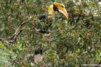 Doppelhornvogel im Kaeng Krachan National Park
