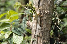 Emmas Schönechse (Calotes emma emma) im Kaeng Krachan National Park