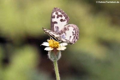 Schmetterling (Castalius rosimon)
