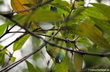 Blauflügel-Blattvogel (Chloropsis cochinchinensis) im Kaeng Krachan National Park, Thailand