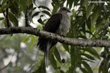 Gebirgsfruchttaube (Ducula badia) im Kaeng Krachan National Park, Bangkok