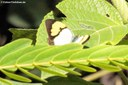 Ixias pyrene verna (male)