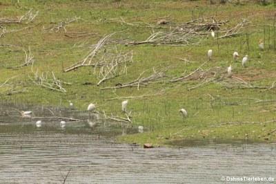 Eine Gruppe Kuhreiher im Kaeng Krachan National Park