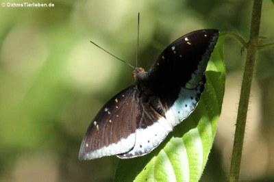 Schmetterling (Lexias pardalis)
