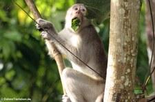 Javaneraffe (Macaca fascicularis) im Kaeng Krachan National Park, Thailand
