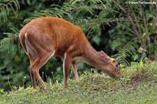 Tenasserim-Muntjak (Muntiacus feae) im Kaeng Krachan National Park, Thailand