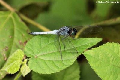 Libelle (Orthetrum glaucum)