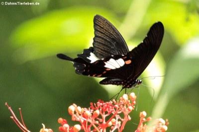 Schmetterling, eventuell Papilio helenus