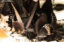 Papilio prexaspes
