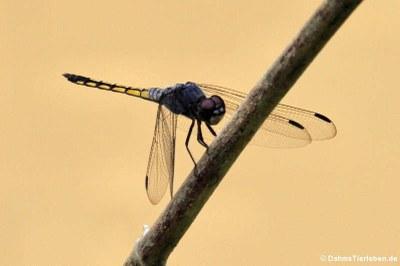 Libelle (Potamarcha congener)
