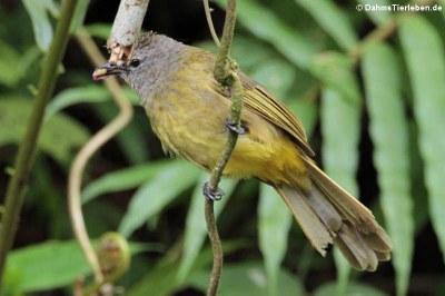 Gelbwangenbülbül (Pycnonotus flavescens)