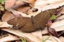 Tanaecia julii odilina