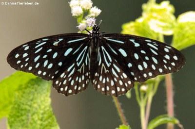 Schmetterling (Tirumala septentrionis septentrionis)