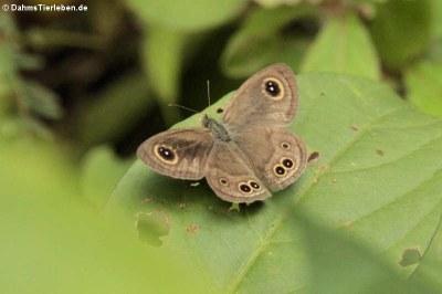 Schmetterling (Ypthima baldus)