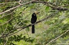 Orienthornvogel (Anthracoceros albirostris) im Kui Buri National Park, Thailand