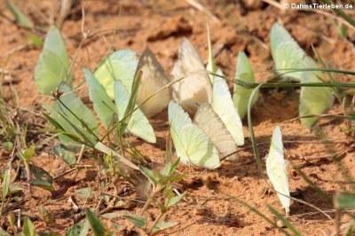 Schmetterlinge (Appias albina)