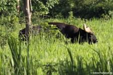 Gaur (Bos gaurus) im Kui Buri National Park, Thailand
