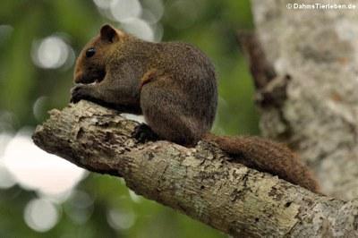 Graubauchhörnchen (Callosciurus caniceps)