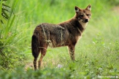 Siam-Goldschakal (Canis aureus cruesemanni)