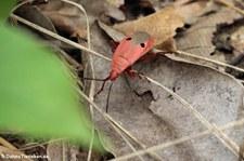 Probergrothius nigricornis im Kuiburi National Park, Thailand