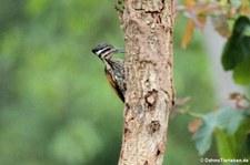Feuerrückenspecht (Dinopium javanense) im Kui Buri National Park, Thailand