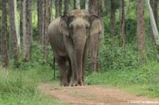 Asiatischer Elefant (Elephas maximus indicus) im Kui Buri National Park, Thailand