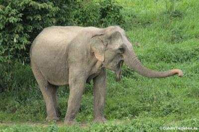 Indischer Elefant (Elephas maximus indicus)