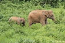 Asiatische Elefanten (Elephas maximus indicus) im Kui Buri National Park, Thailand