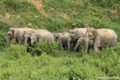 Elefanten aus Thailand (Elephas maximus indicus)