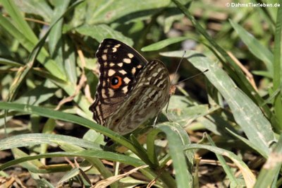 Schmetterling (Junonia lemonias lemonias)