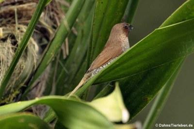 Muskatamadine (Lonchura punctulata)
