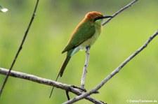 Smaragdspint (Merops orientalis ferrugeiceps) im Kui Buri National Park, Thailand