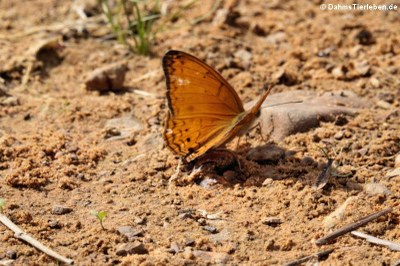 Schmetterling (Phalanta alcippe alcippoides)