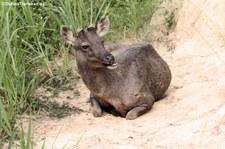 Sambar (Rusa unicolor cambojensis) im Kui Buri National Park, Thailand