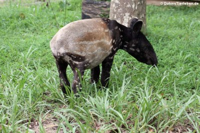 Schabrackentapir (Tapirus indicus)