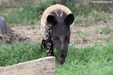 Schabrackentapir oder Malaysischer Tapir (Tapirus indicus) im Kui Buri National Park, Thailand