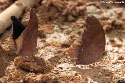 Schmetterlinge (Terinos clarissa falcata)