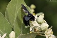 Holzbiene im Kui Buri Nationalpark, Thailand