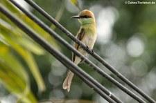 Smaragdspint (Merops orientalis ferrugeiceps) in Thailand