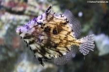 Schmuck-Feilenfisch (Chaetodermis penicilligerus), Oceanworld Bangkok, Thailand