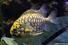 Japanischer Zapfenfisch (Monocentris japonica), Oceanworld Bangkok, Thailand