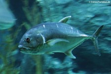 Blauflossen-Thunfisch (Thunnus thynnus), Oceanworld Bangkok, Thailand