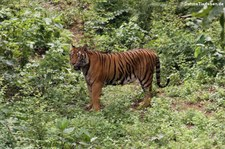 Indochinesischer Tiger (Panthera tigris corbetti) in Kanchanaburi, Thailand