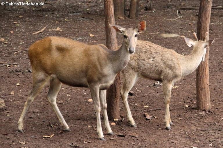 Rusa unicolor cambojensis