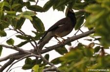 Hirtenmaina (Acridotheres tristis tristis) im Khao Sam Roi Yot National Park, Thailand