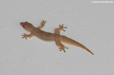 Saumschwanz-Hausgecko (Hemidactylus platyurus)